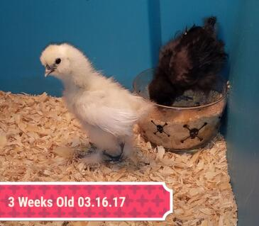 Peep the Silkie Rooster (yellow) & Meep the Silkie Pullet (black)