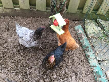 Chooks enjoying their treat! This feeder keeps the fruit clean so must be better for the girls!