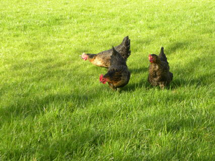 chickens enjoying the grass