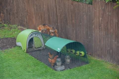 The eglu is definitely fox proof